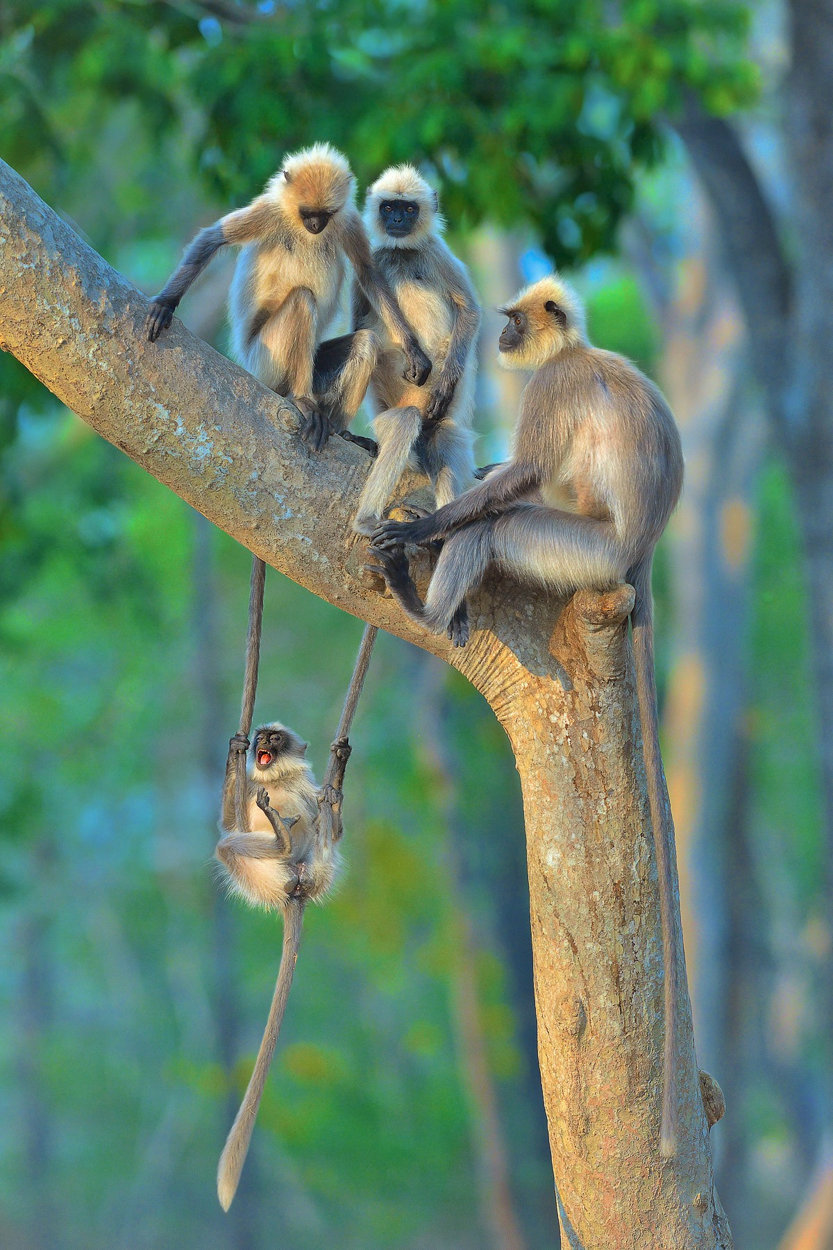 A grey langur monkey holds and swings on two hanging tails of the siblings or friends in the tree above her