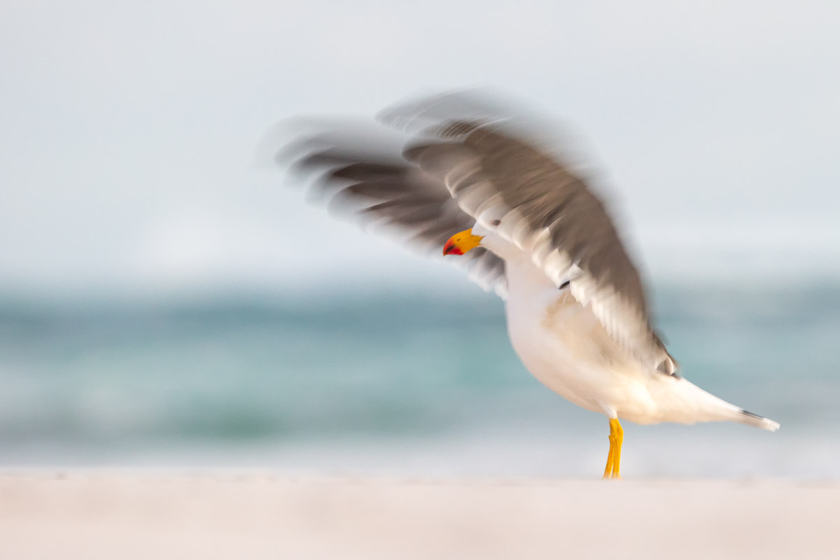 A blurry shot of a Pacific Gull standing on the beach flapping its wings.