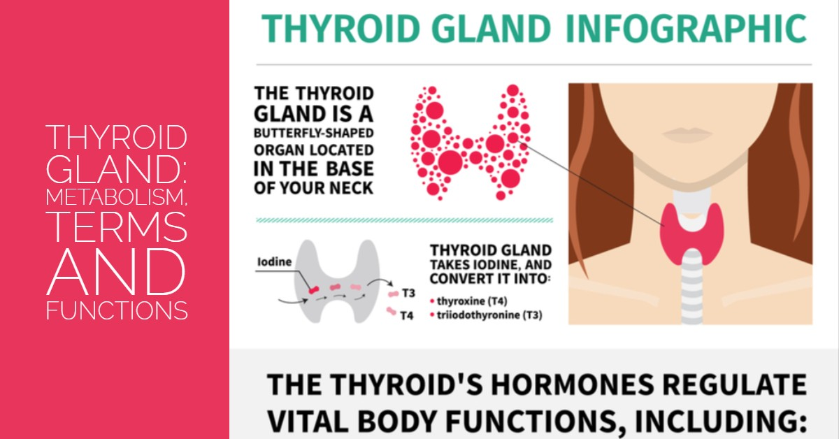 Understanding The Thyroid Gland Metabolism Terms And Functions