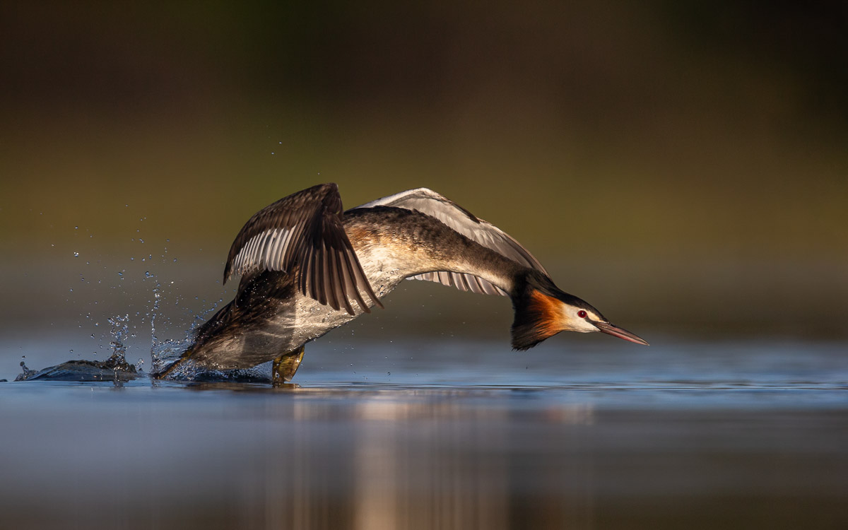 A Great Crested Grebe landing on water.