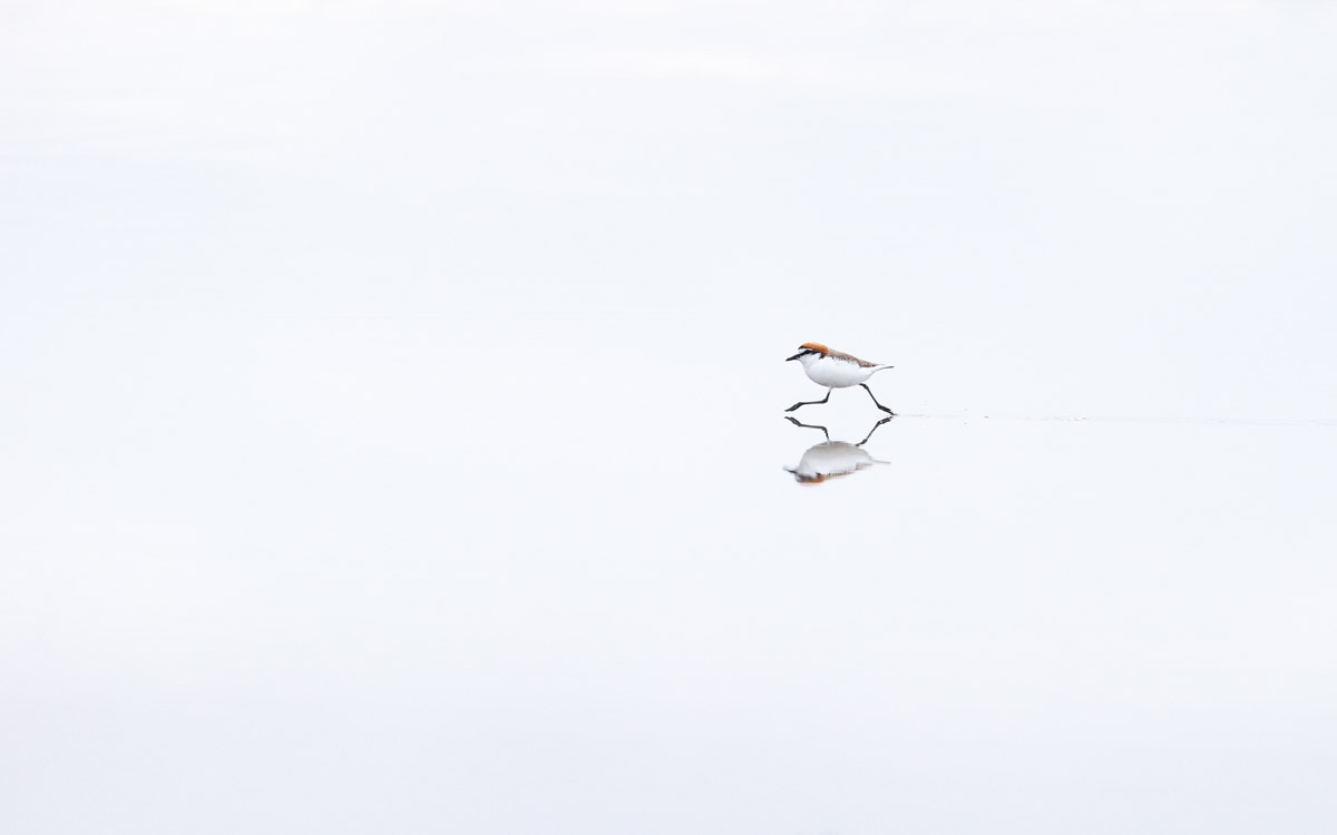 A Red-Capped Plover and its reflection on still water—apparently under a cloudy sky, as everything is white.