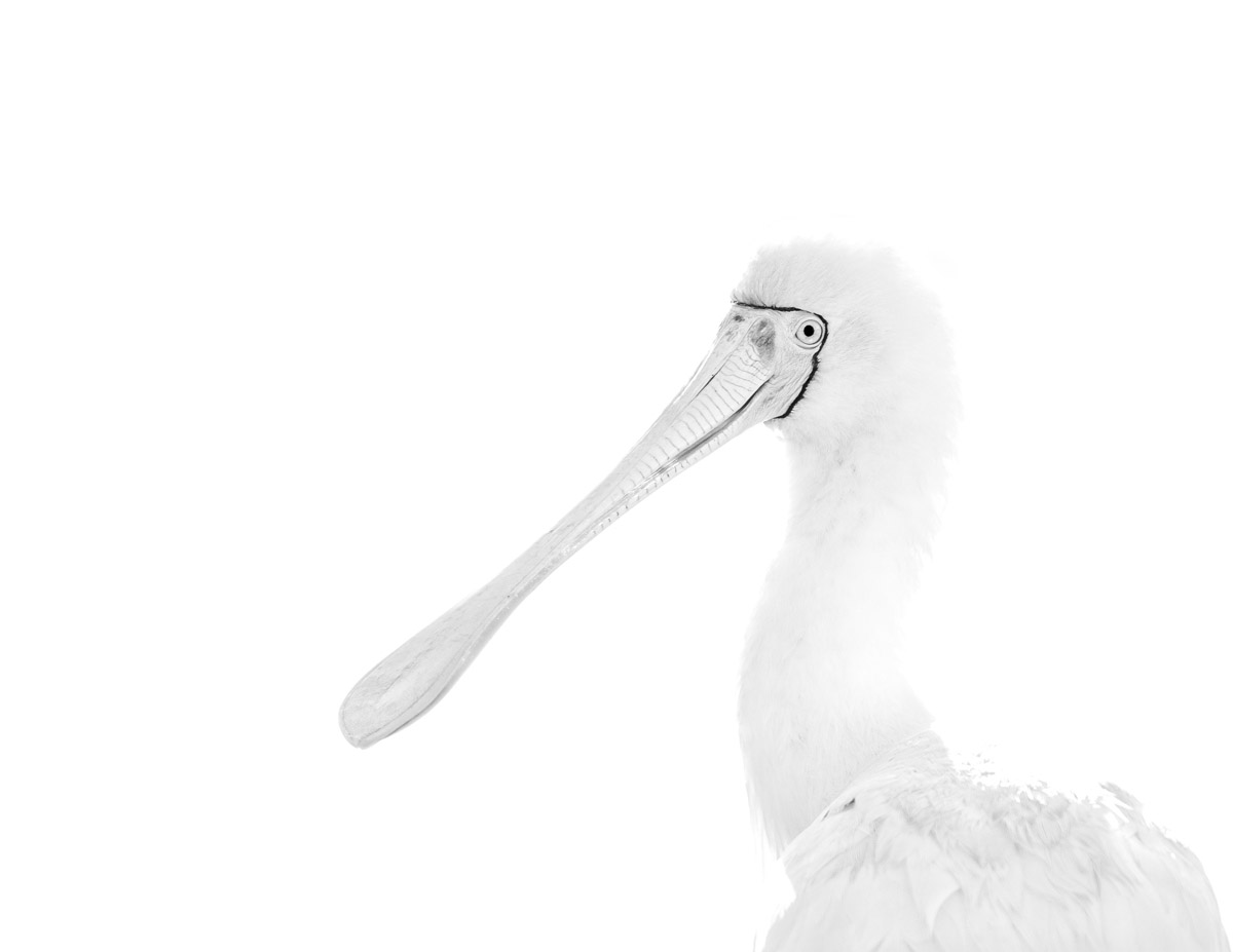 A white Yellow-Billed Spoonbill on a white background.