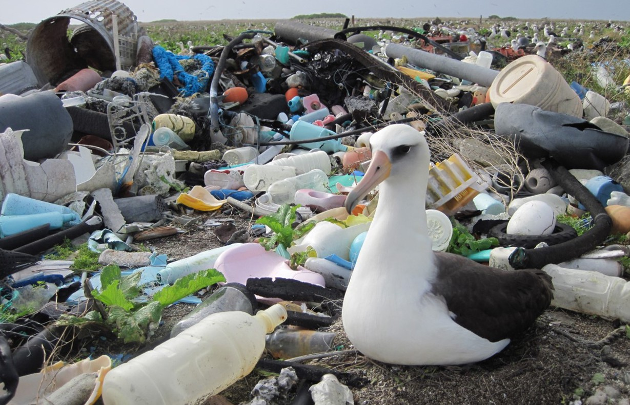 laysan albatross surounded by plastic pollution on their breeding grounds