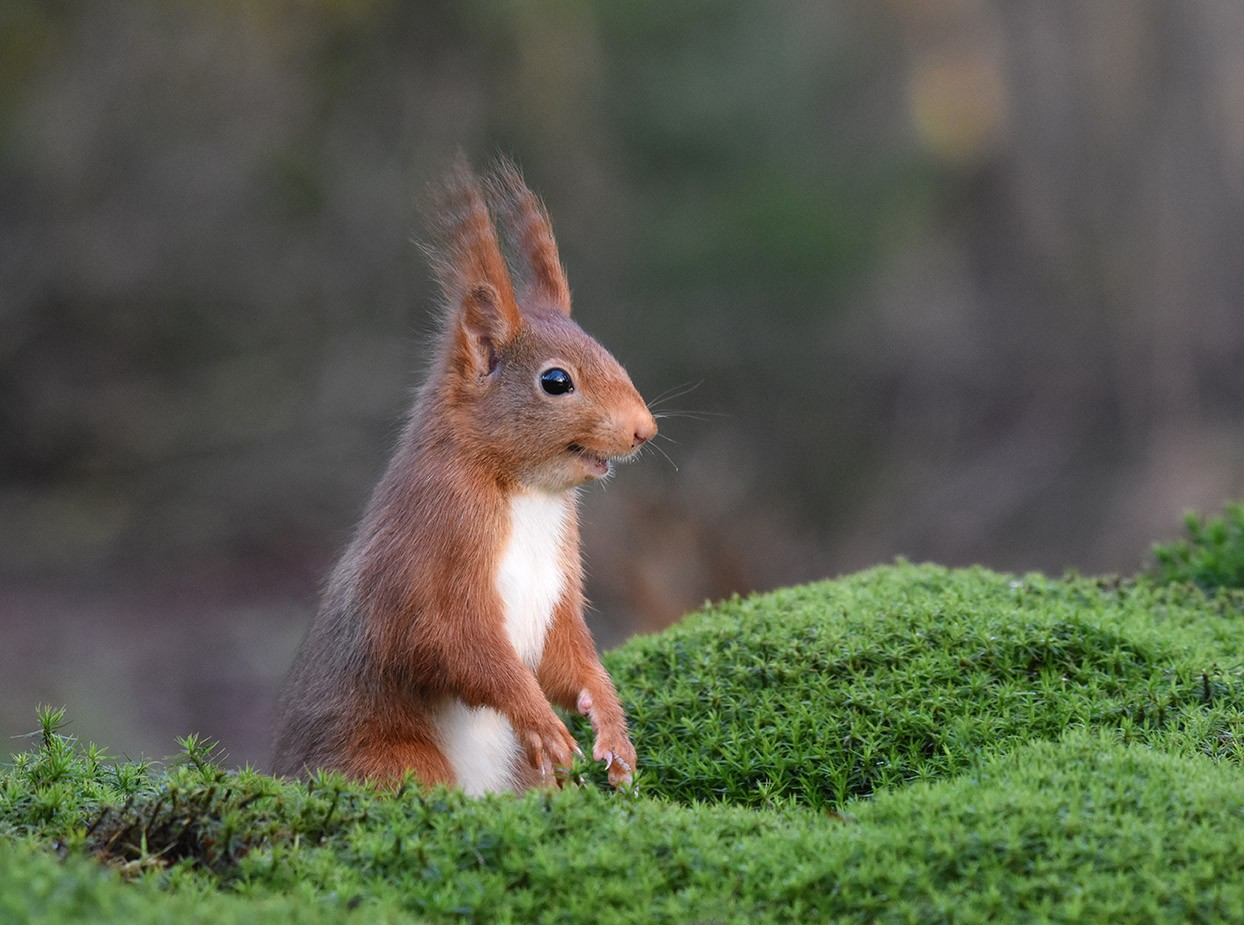 A diminutive squirrel with red fur and tufted ears has an open mouthed, curious, fun expression and is staring at something