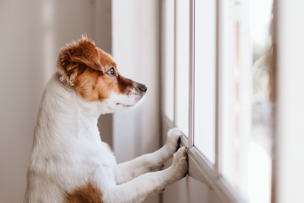 Dog looking out a window.