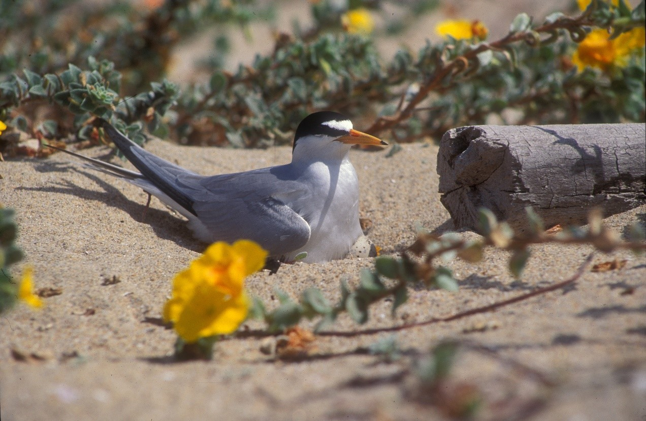 a black, grey and white tern sits on a nest on a beach featuring some yellow flowers surrounding it.