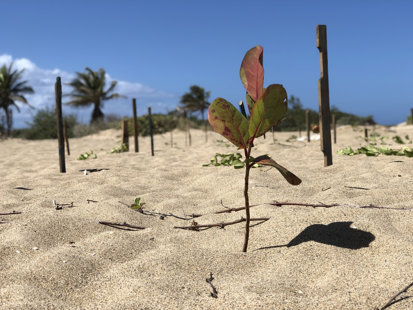 Rising from loose champagne sand, the rounded leaves of a juvenile sea grape contrast the spiny palms in the distance.