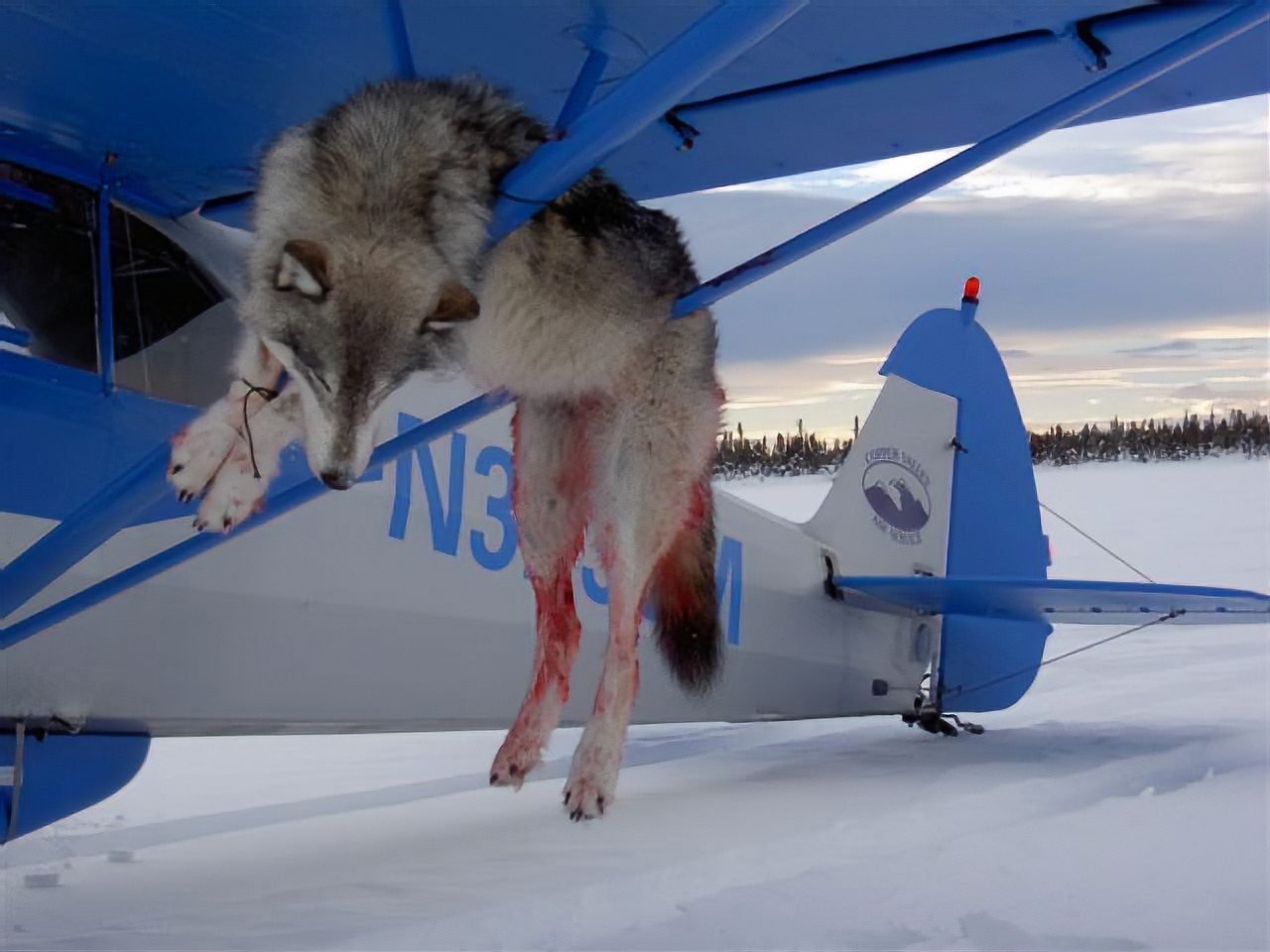 Bloody wolf killed with plane