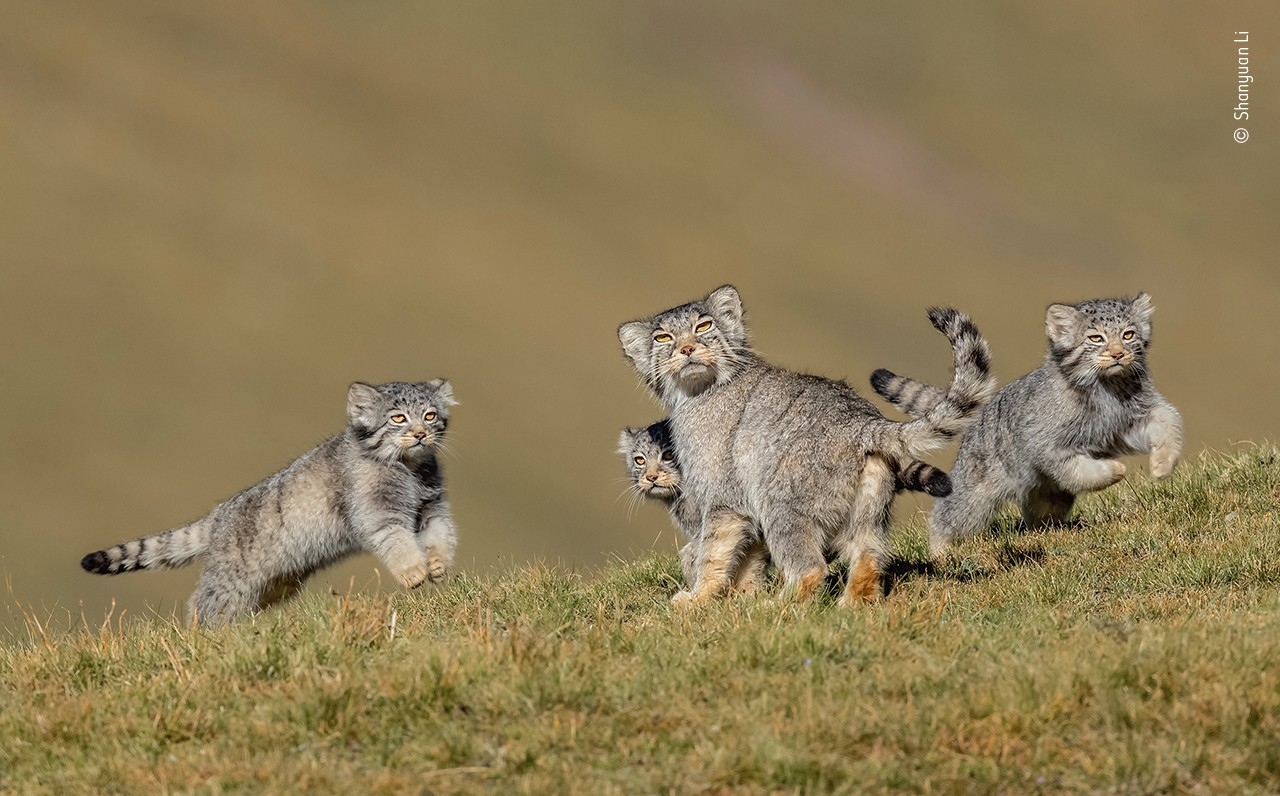 A family Pallas's cats (an adult and three kittens) on a grassy hill.