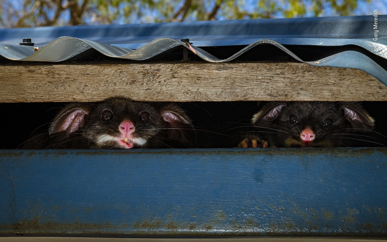 Two possums peek from under a metal roof with cute, almost-cartoon like expressions of curiosity on their faces