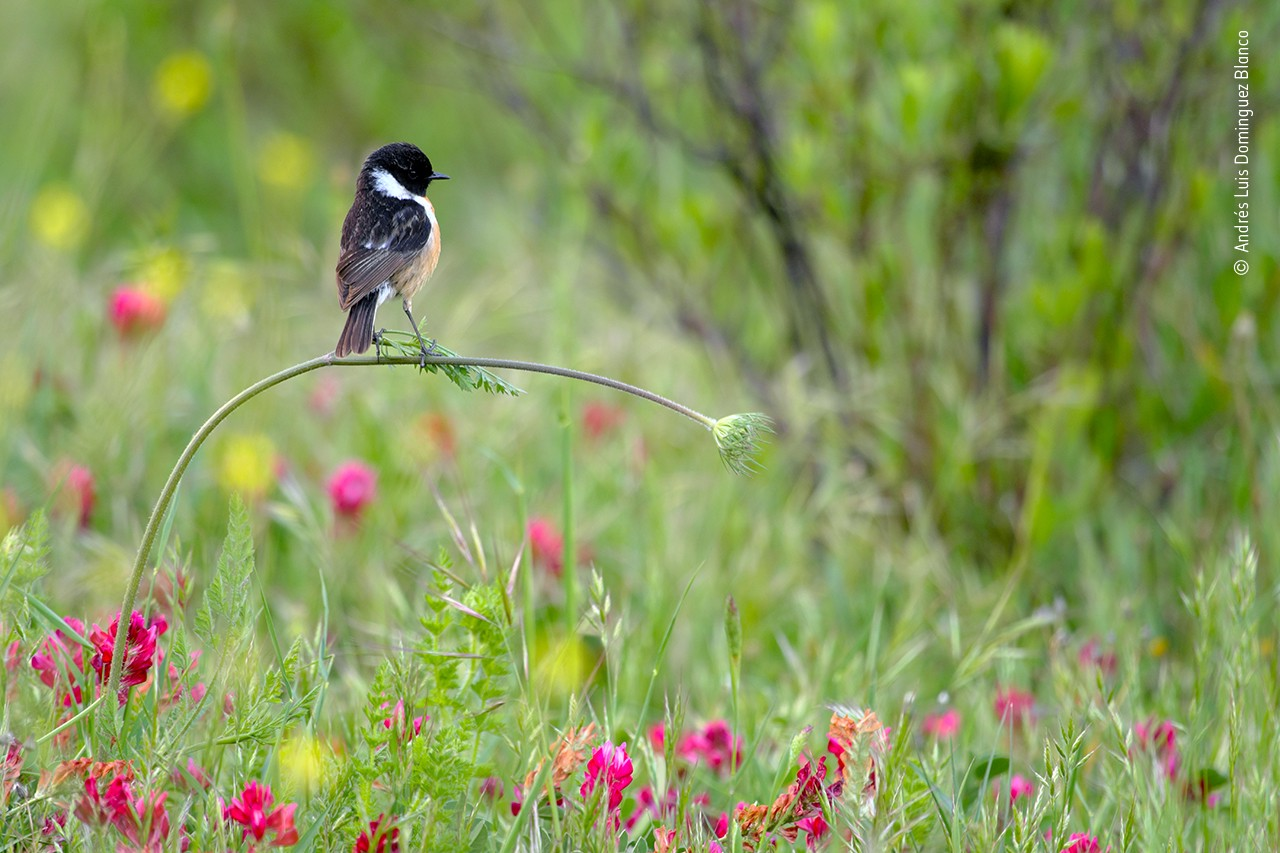 A photograph of a small bird with black and white markings balancing on a perfectly level piece of grass, among flowers