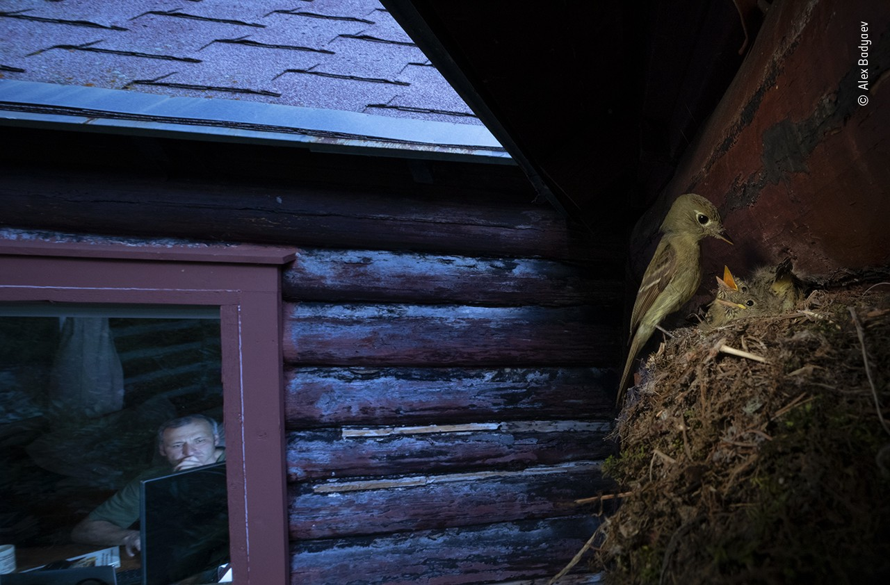 A photograph of a family of birds, mom feeding babies in their nest, and the reflection of a man inside studying his computer