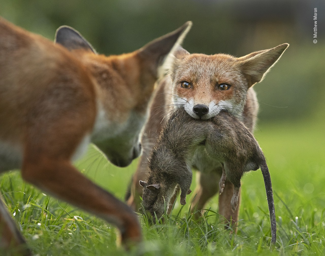 A juvenile fox with a large dead rat hanging out of her mouth makes eye contact with a sibling coming to check out the kill