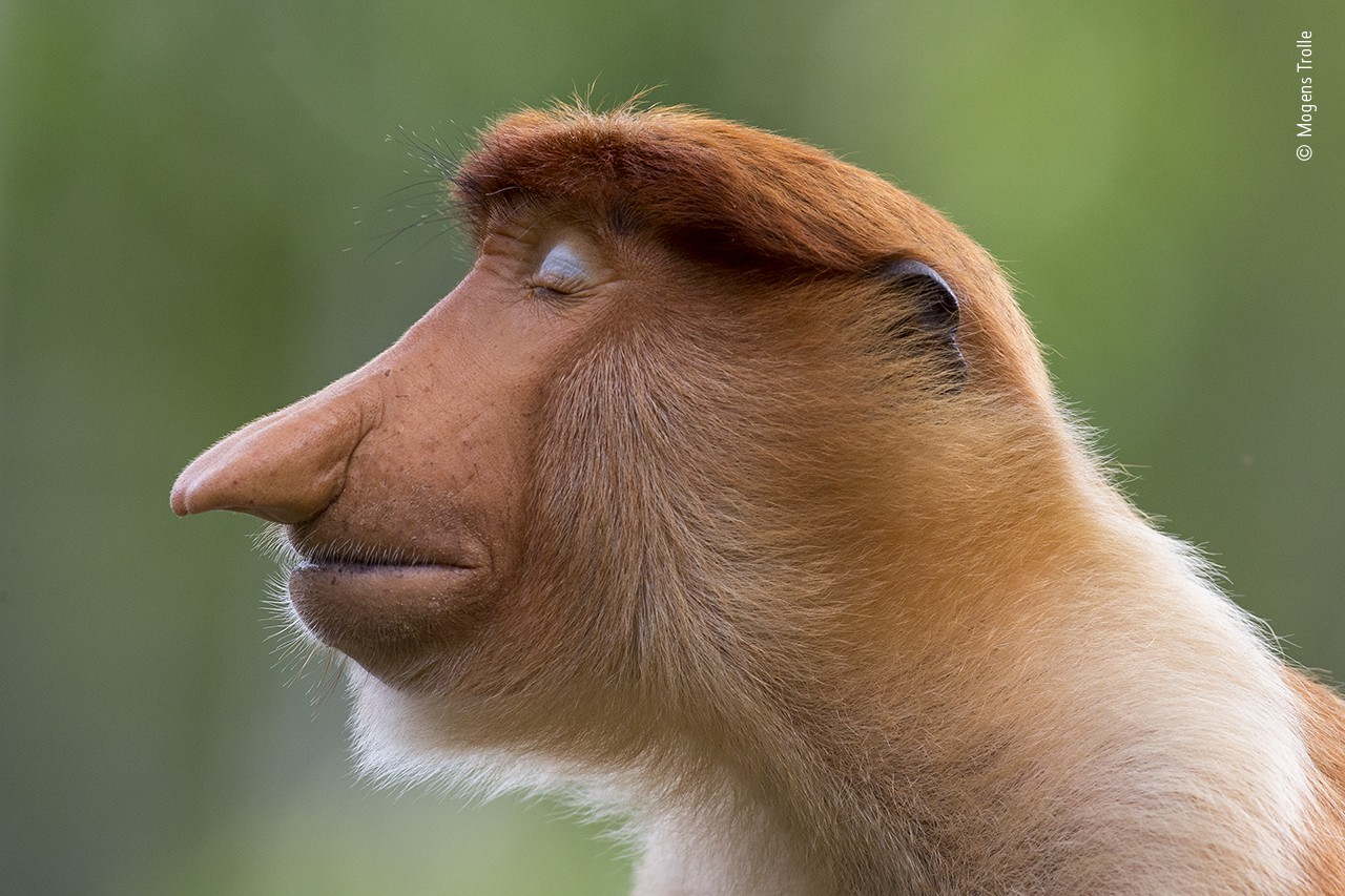 A proboscis monkey is pictured in profile, eyes closed, and he looks remarkably thoughtful and very human