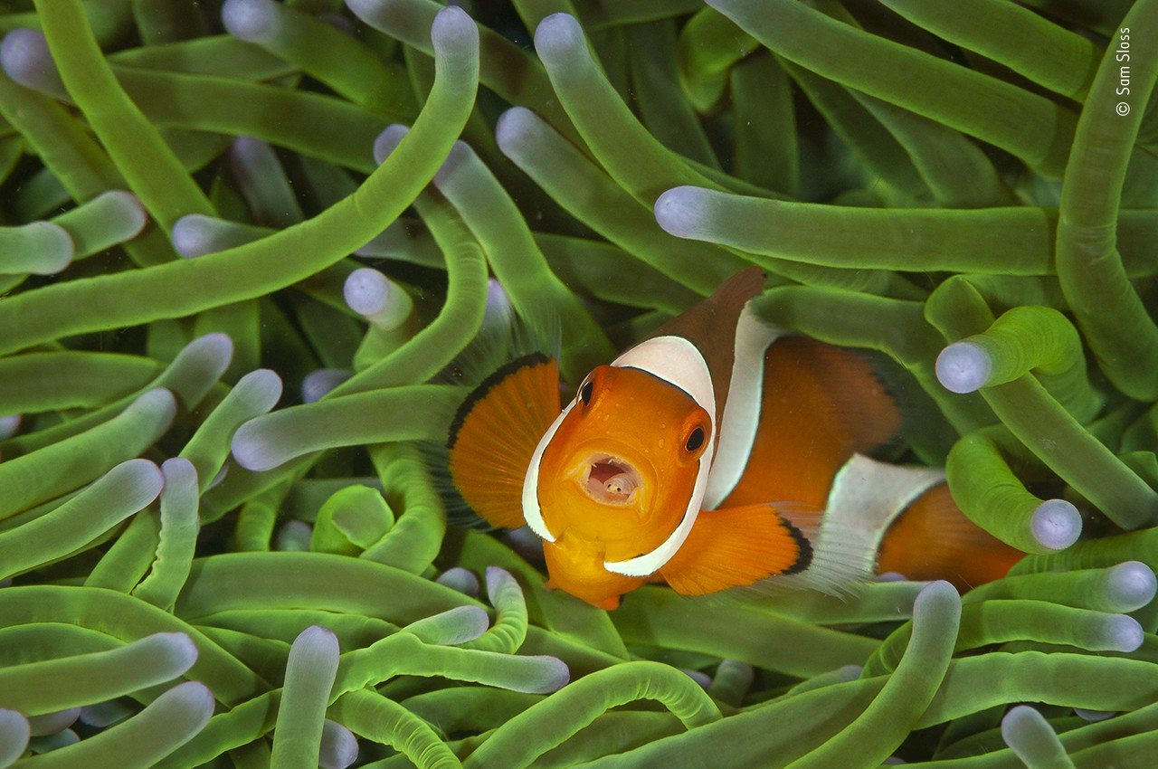 An image of a clownfish who appears among green sea plants with an open mouth, showing another small weird face inside