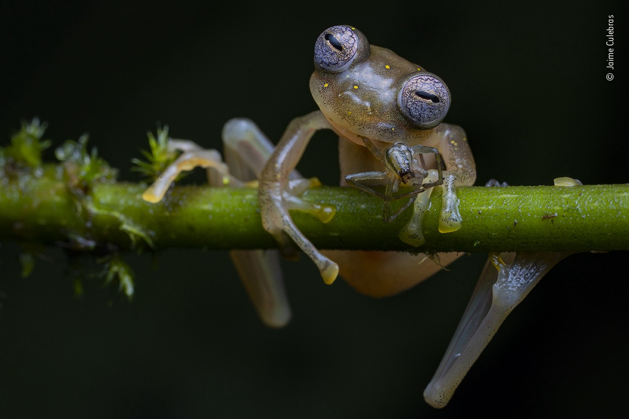 A small, shiny frog grips a small stick in the dark—their eyes seem to be squinting, almost contemplatively