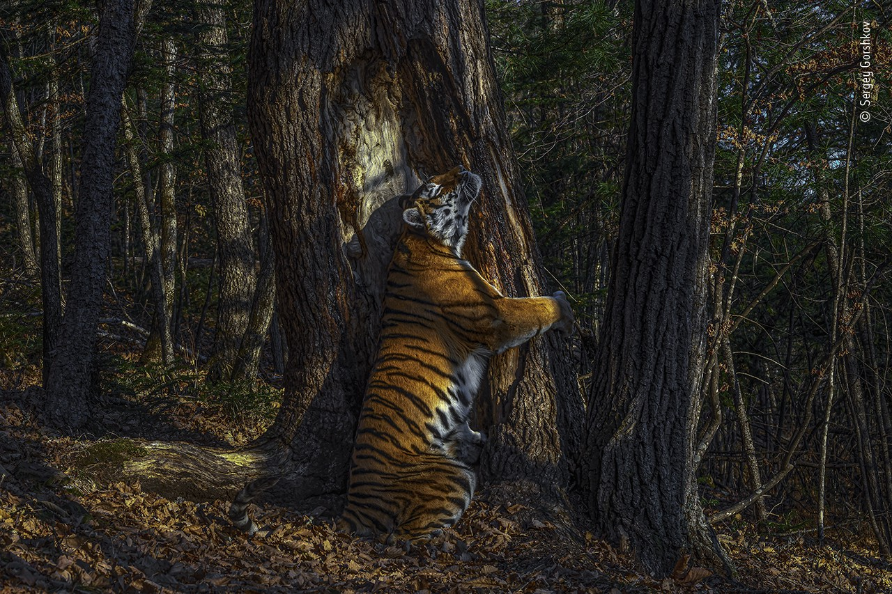 A dramatically-lit photograph of an adult female tiger who seems to be locked in a loving embrace with a tree in the forest