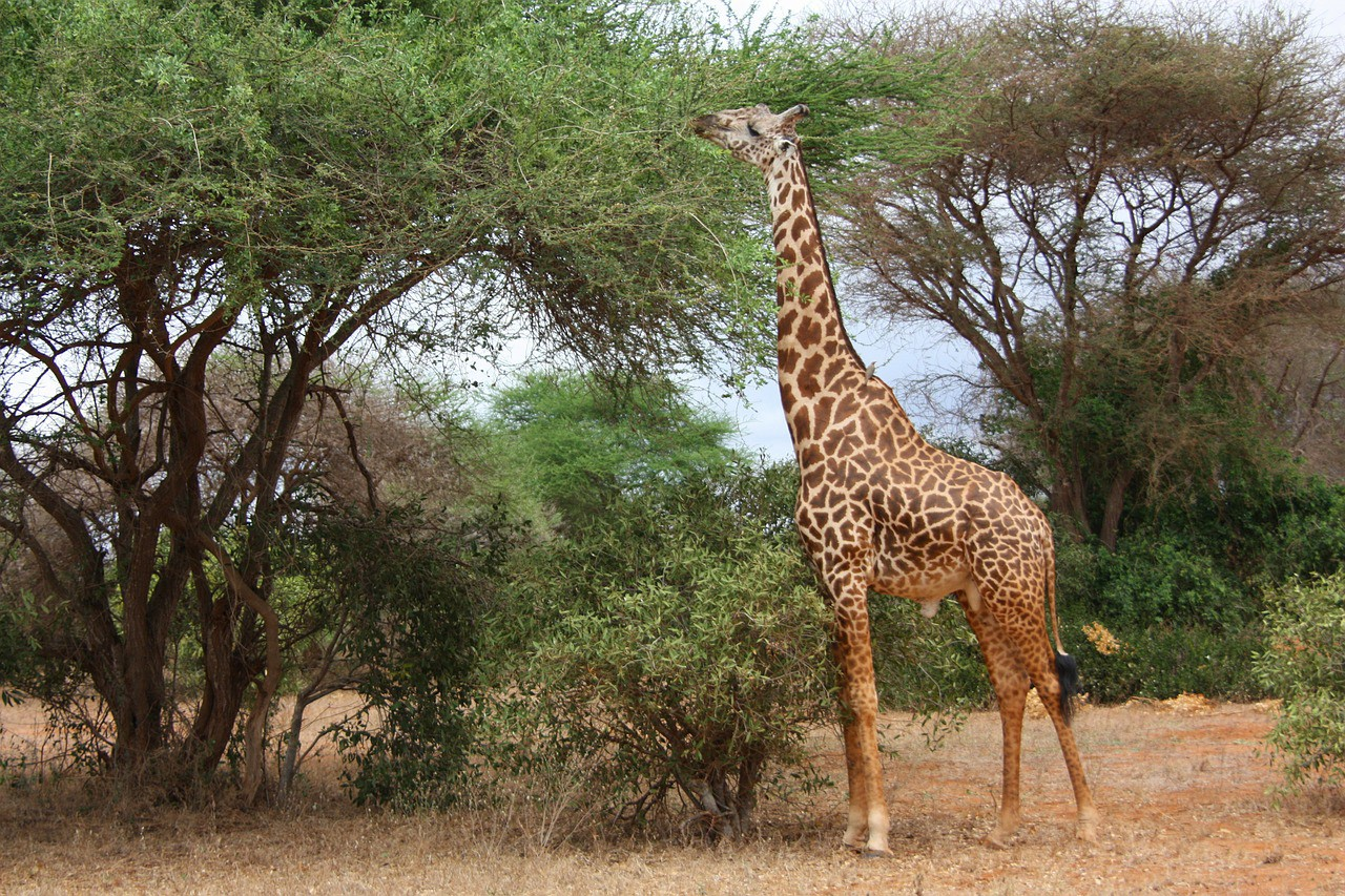 Giraffe eating leaves off a tree