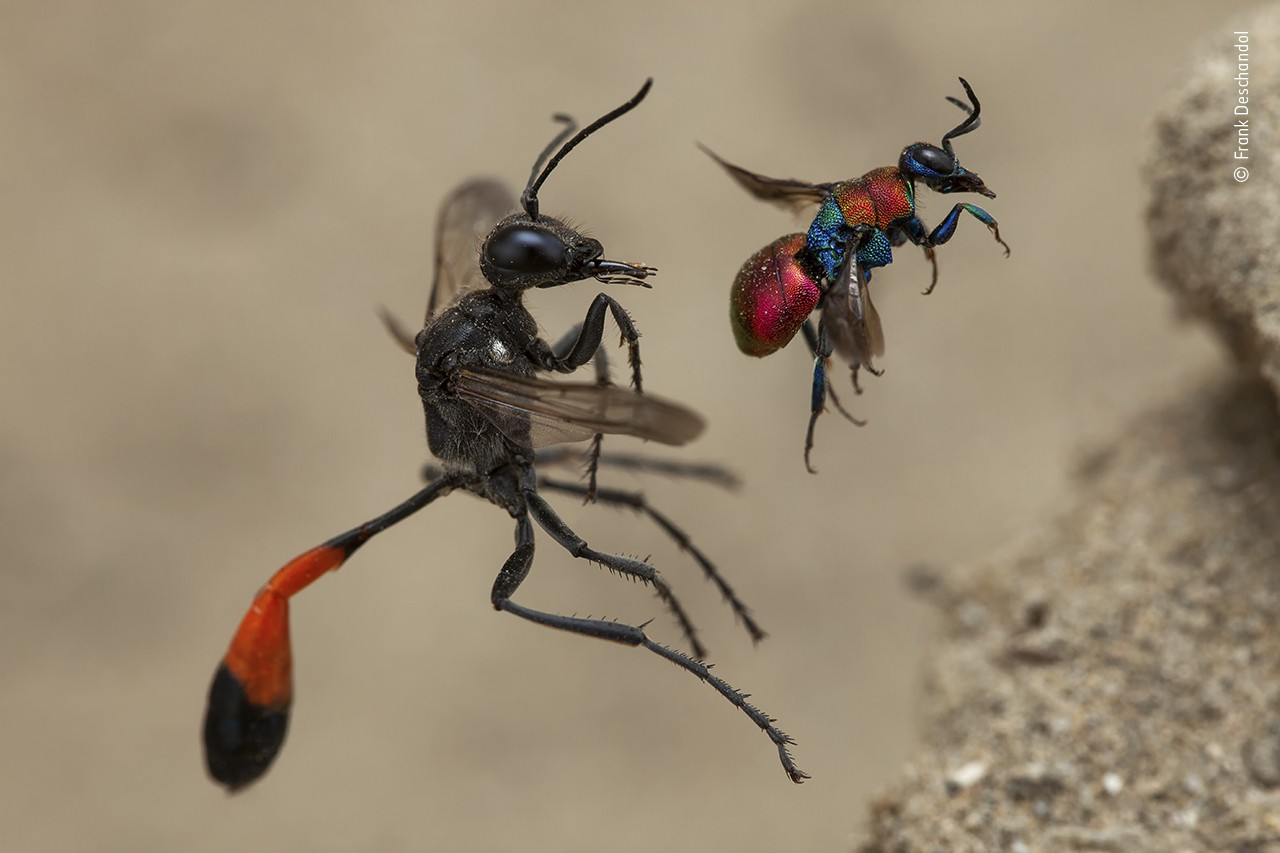 Two different types of wasp, both captured in colorful detail, are frozen right i the air as they approach nest holes