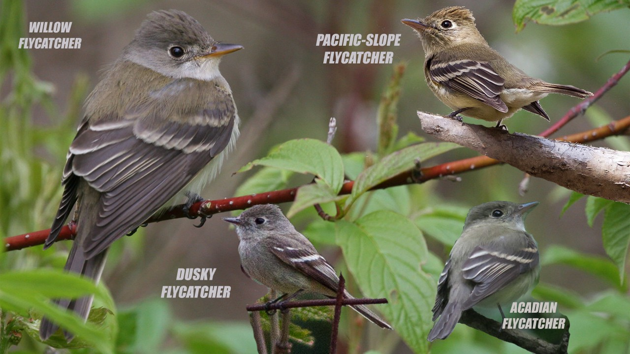 Confusing Empidonax flycatchers collage