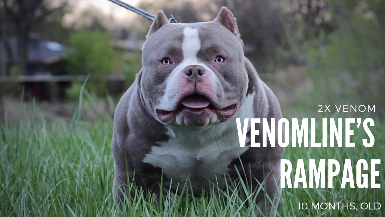 How American Bully Stud Service Should Work Bully King