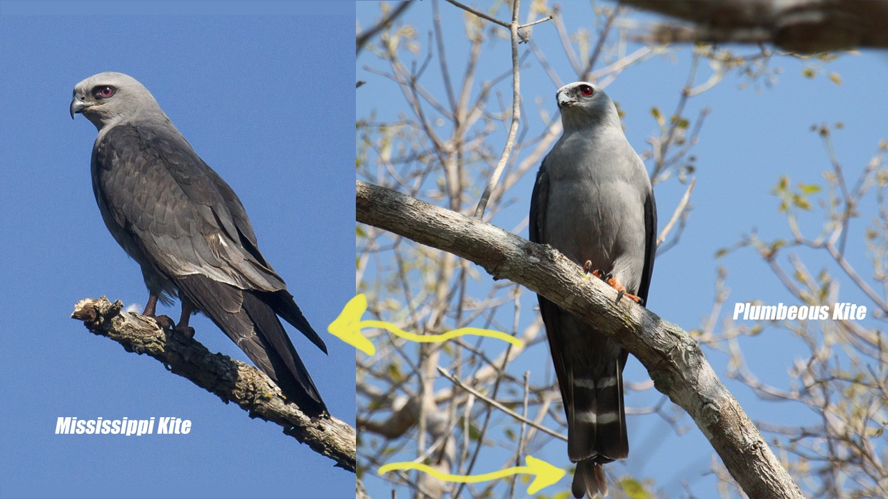 Perched Mississippi Kite vs. Plumbeous Kite with wing-to-tail length compared