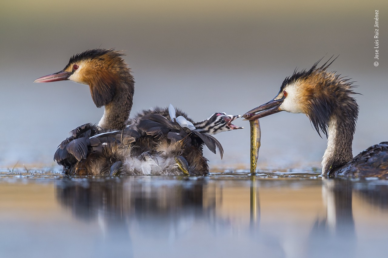 Two herons float on the water, one has a baby nested on back and the other holds a fish towards the striped baby's open beak