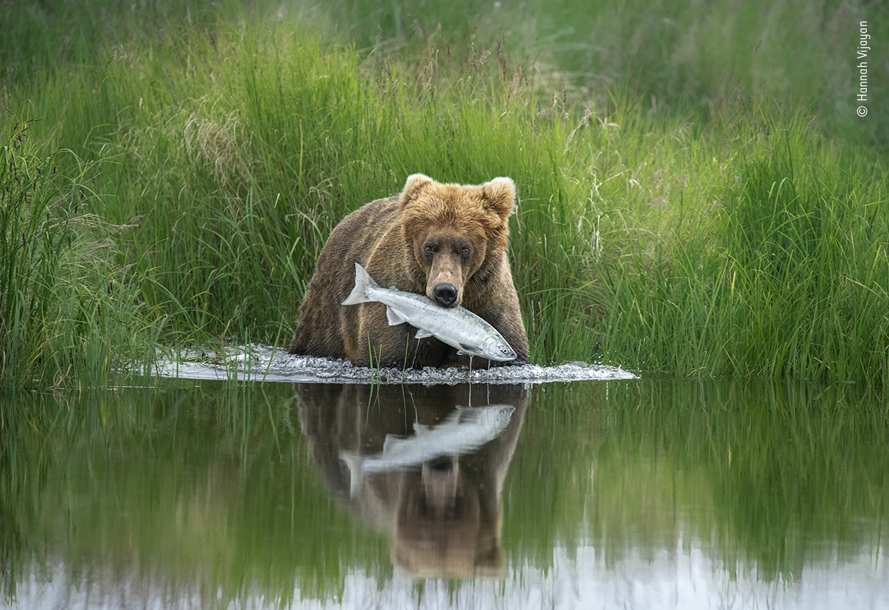 A bear at the edge of a still lake with green grass behind her, with a large silver fish in her mouth and a reflection below