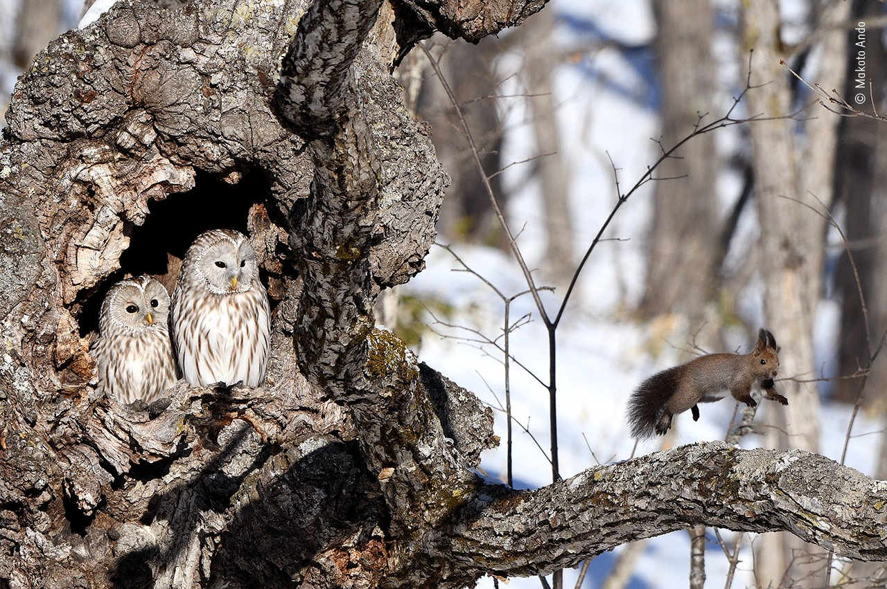 A squirrel with very upright ears bounds down a branch, caught in mid leap, while two owls look on from the nearby tree trunk