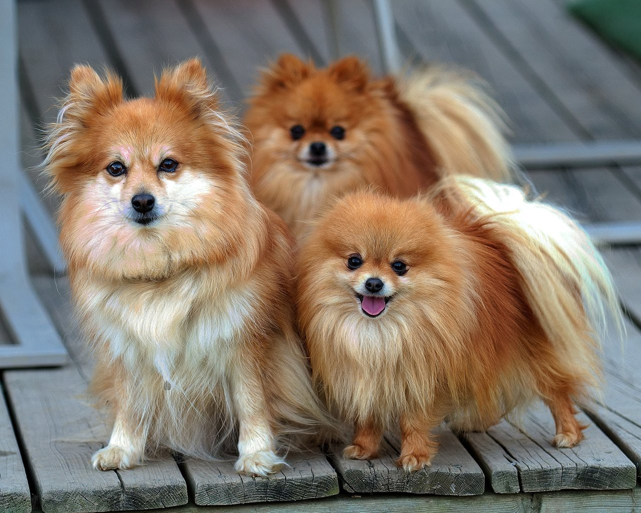 Top 4 Smallest Dog Breeds And Their Temperament By Ivan Dimitrijevic Medium
