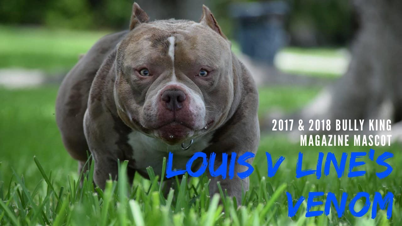 TOP PRODUCING POCKET BULLY STUD | LOUIS V LINE'S VENOM PRODUCTIONS