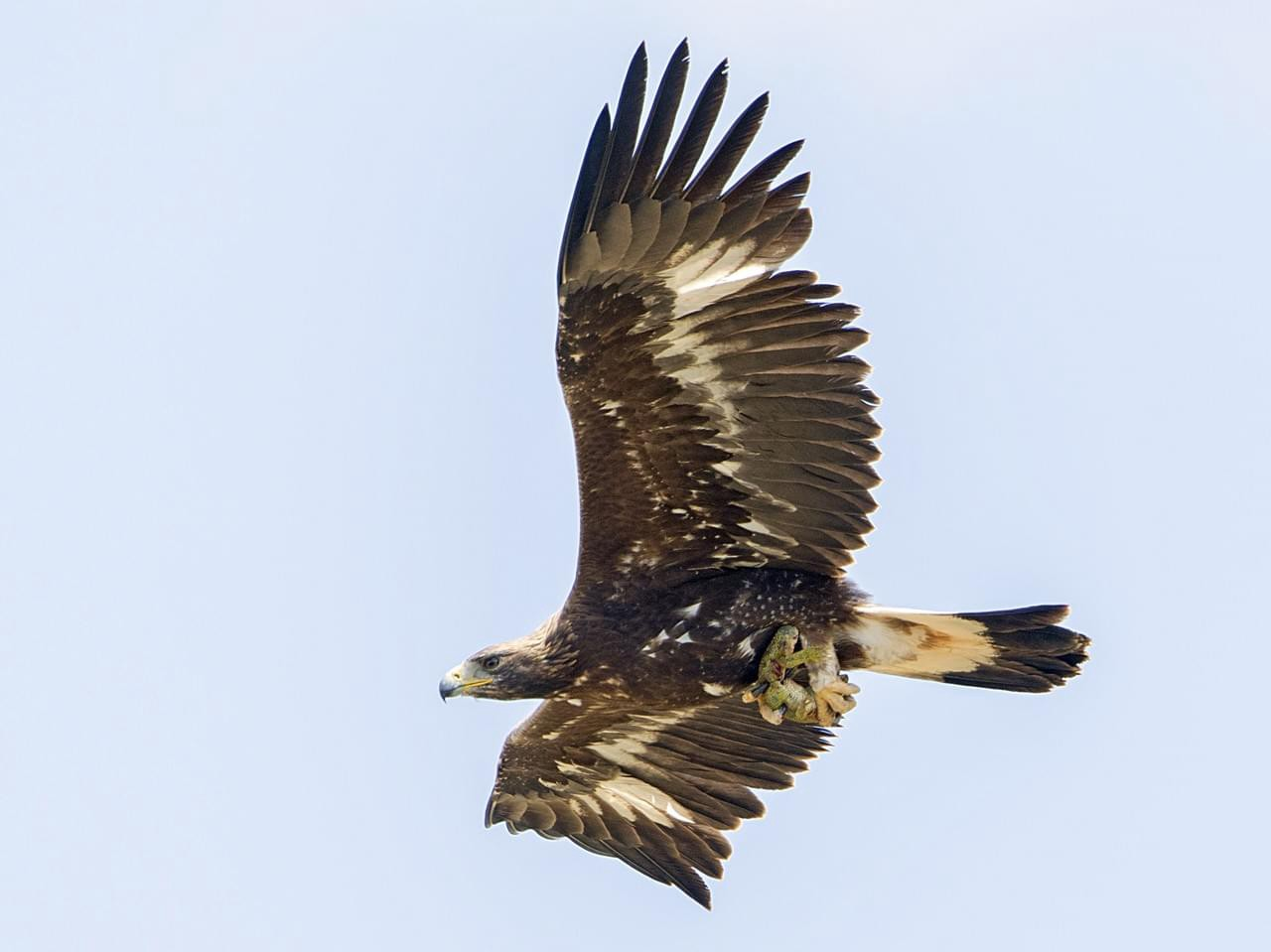 Immature golden eagle soaring in the sky
