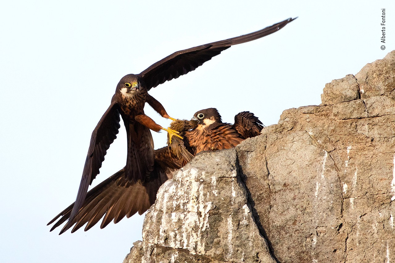 A photograph of a bird of prey just landing at his nest and dropping off a small songbird for his mate