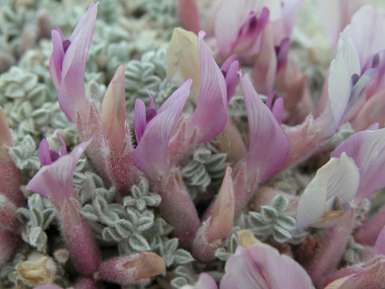 close up photo of milk-vetch plant with lavender petals and some light greenery