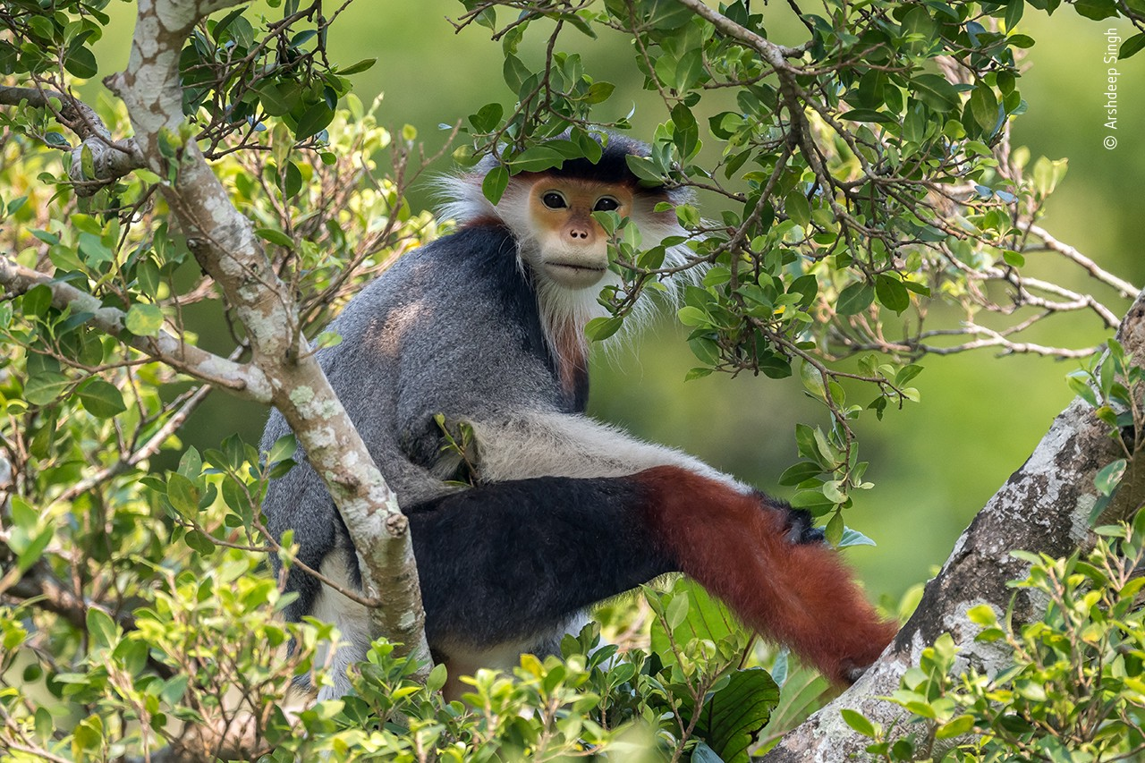 A bright-faced monkey who is reclined in a tree makes direct eye contact with the lens of the camera