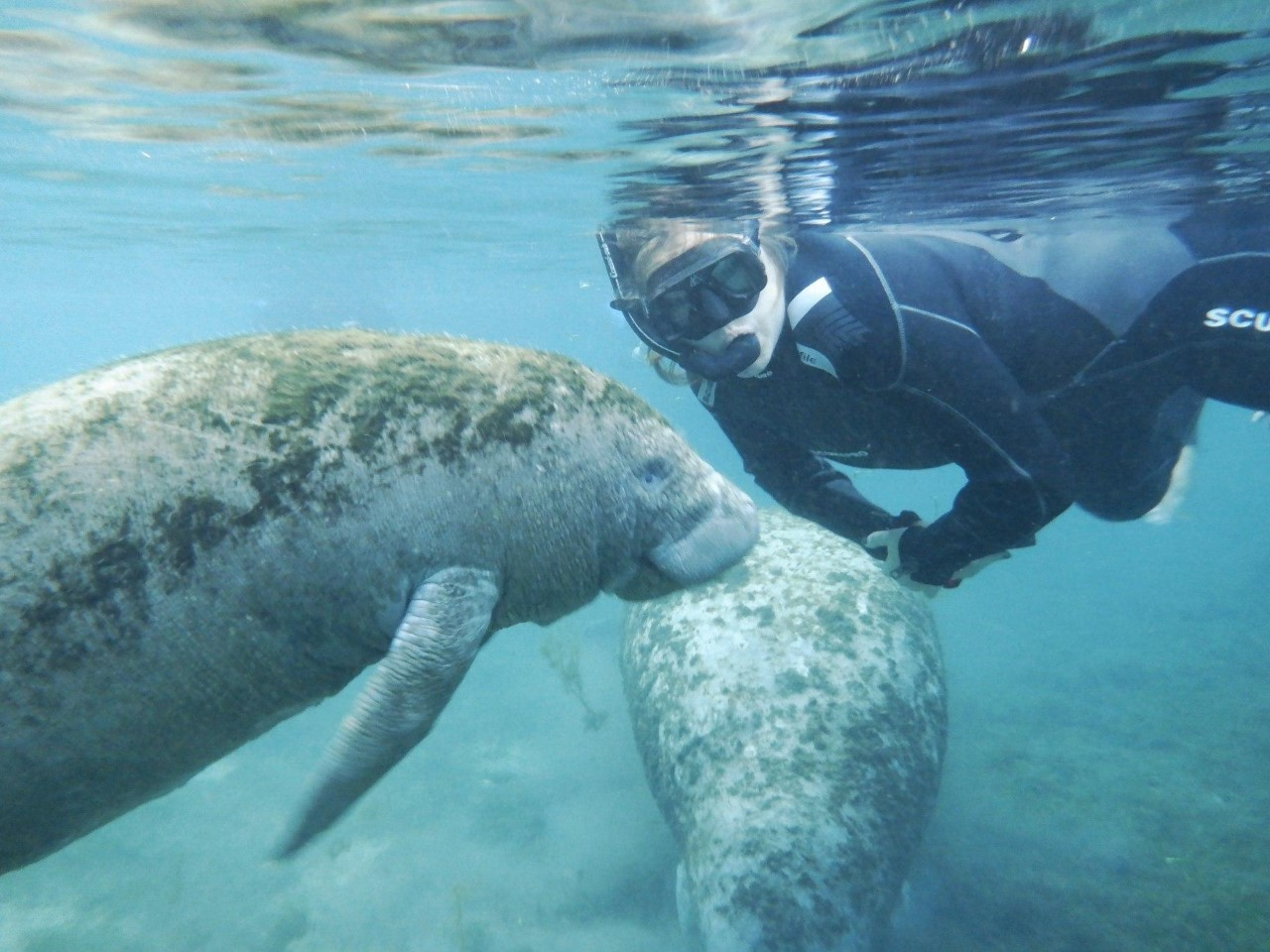 person in wetsuit with snorkel looks at camera as 2 manatees swim near her