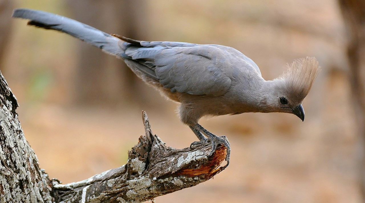 A grey bird with a tuft on its head looks down from a tree branch as though judging someone.