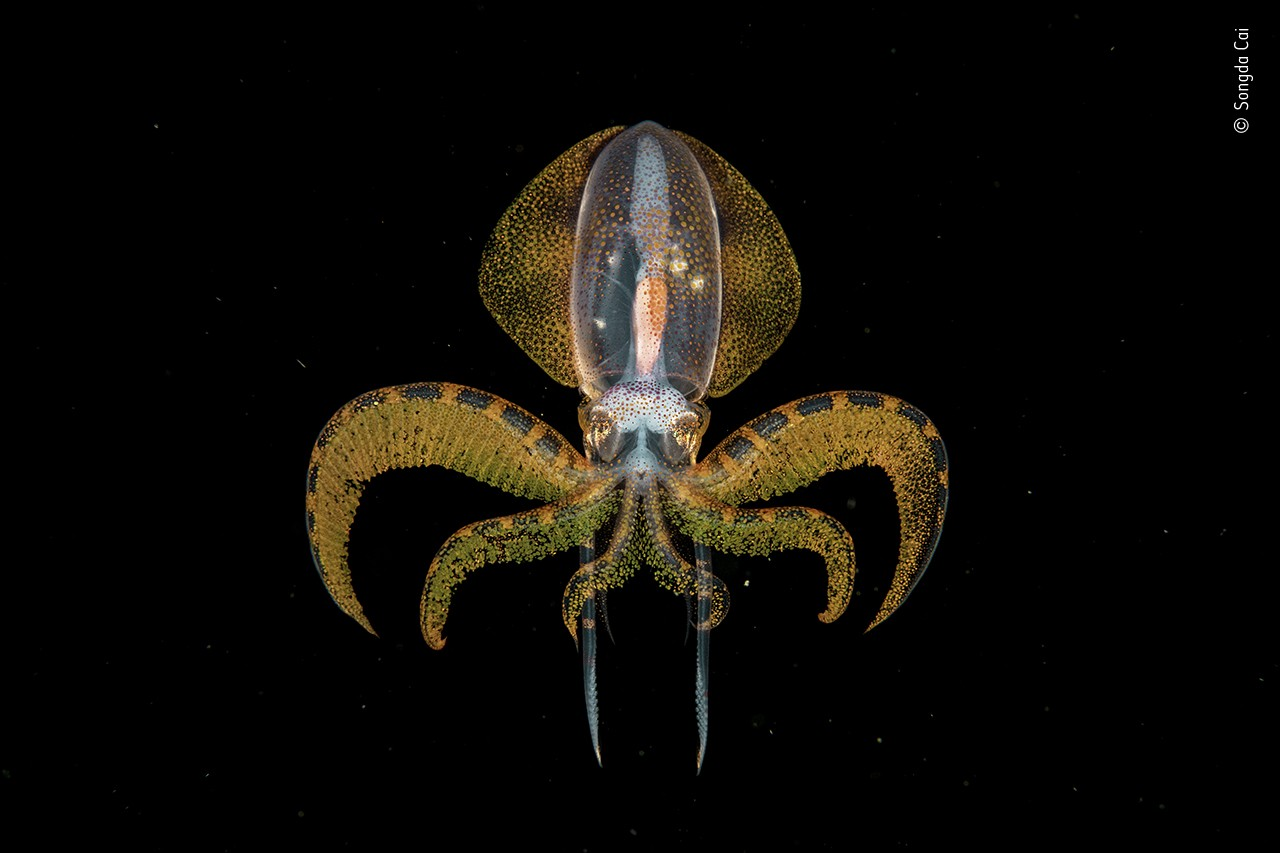 A diamondback squid is captured in full, still detail in black waters, with an intricate, glowing skin texture