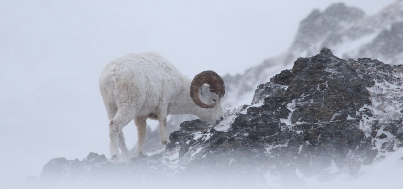 dall sheep on a snowy slope