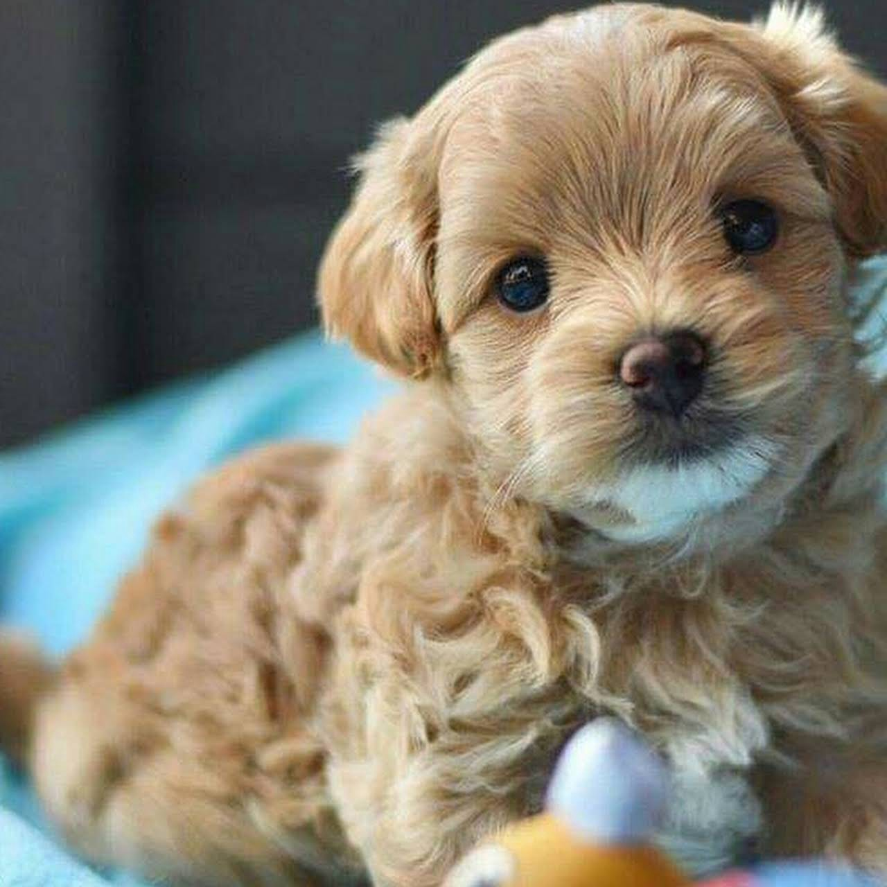 Tiny Apricot Maltipoo Puppies For Sale By Cathys Maltese Medium