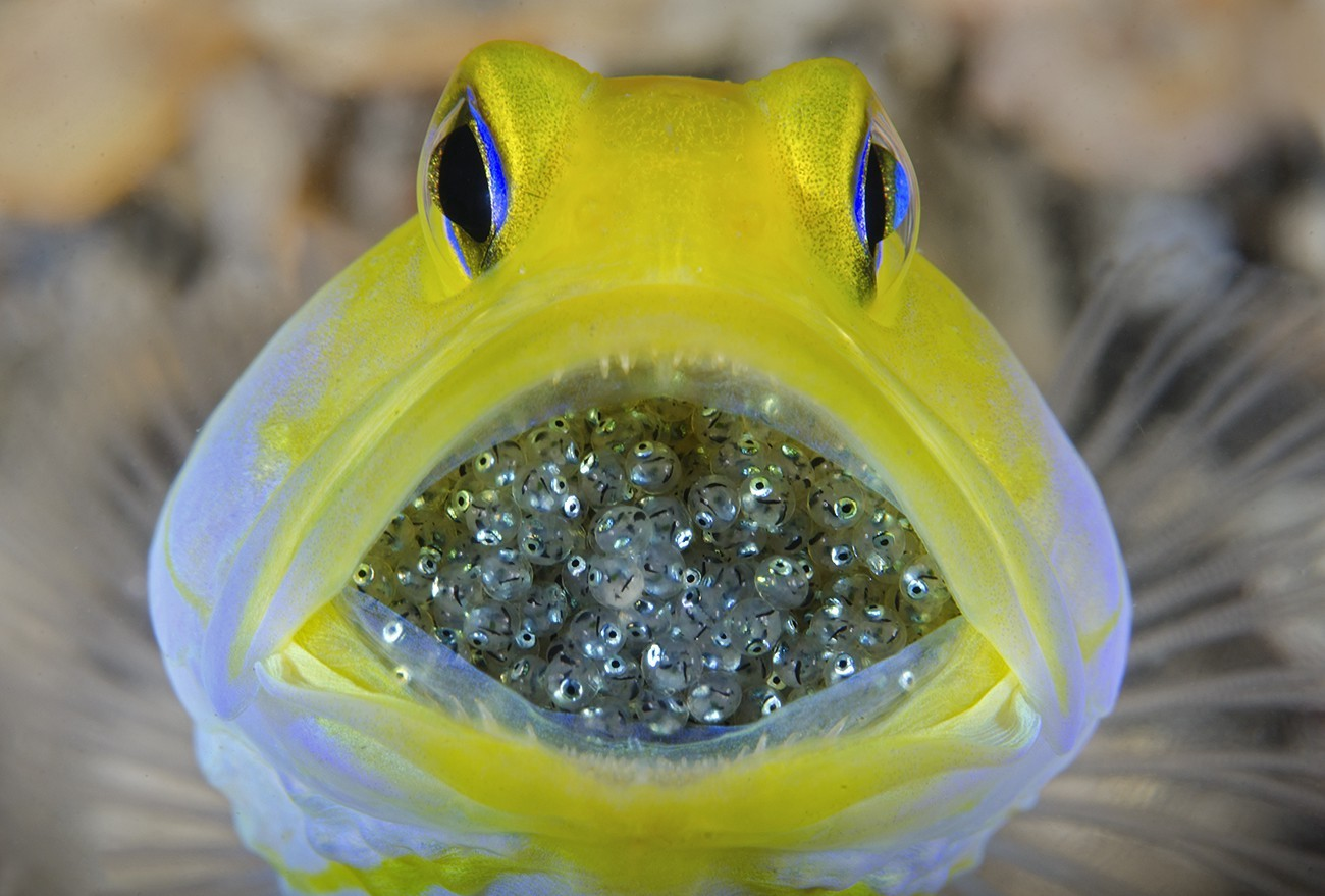 The eggs of yellowhead jawfish are mouthbrooded by the male until they are ready to hatch