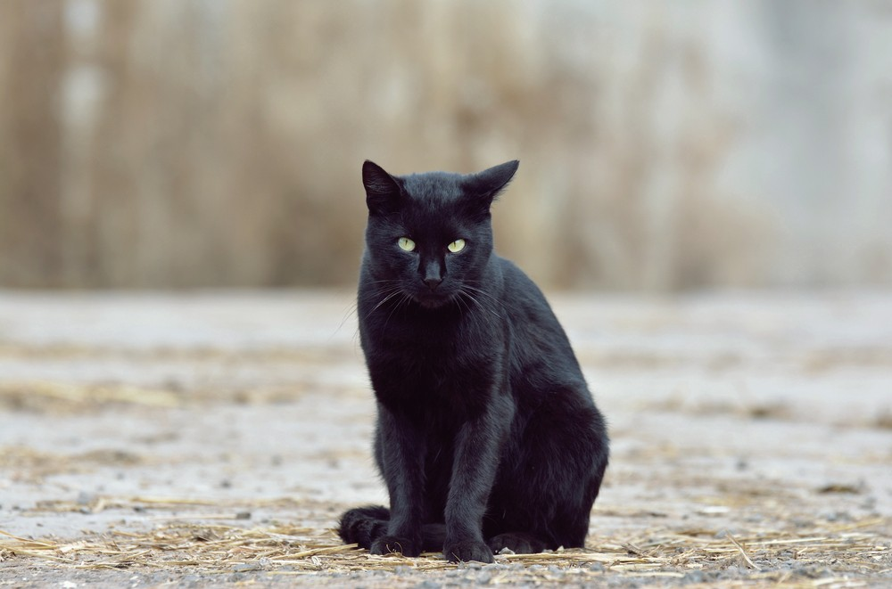 Changing perceptions: an ode to the black cat - Chilled Cat