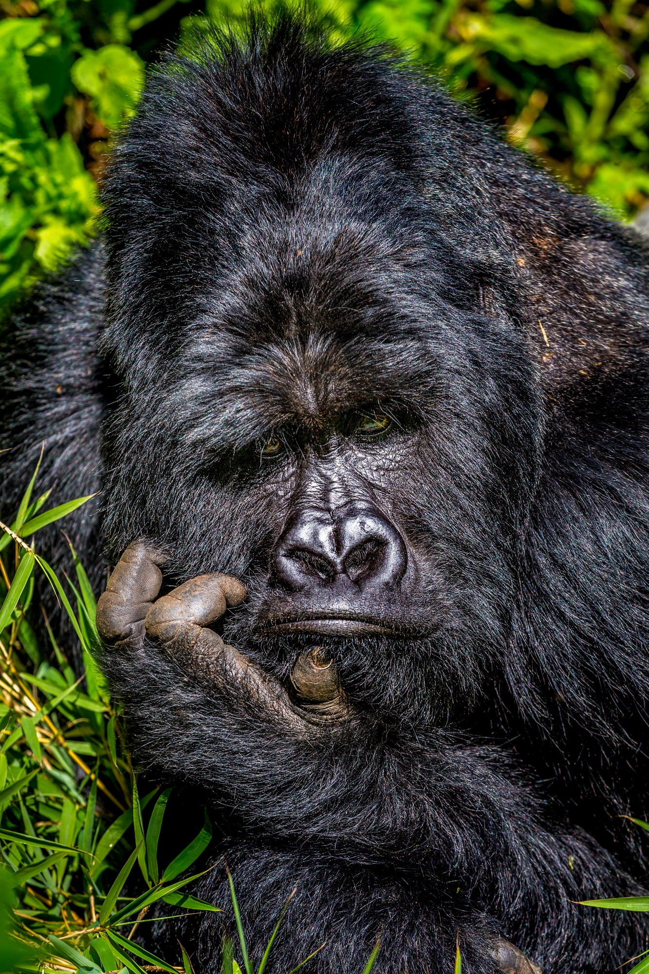 "A close-up shot of a black gorilla's face with his head resting on his curled hand, ""thinker"" style"