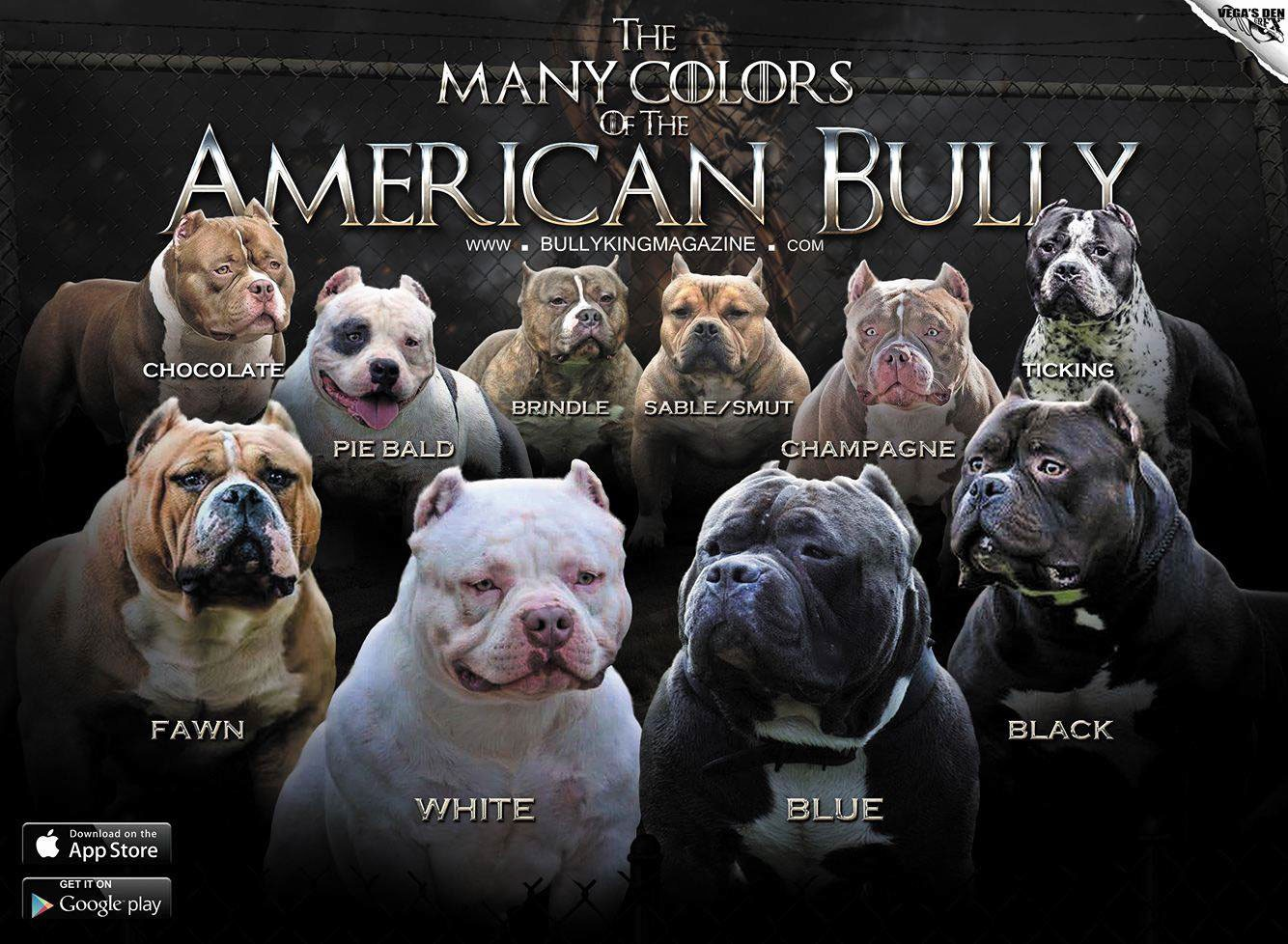 Best Extreme Pocket American Bully Puppies For Sale
