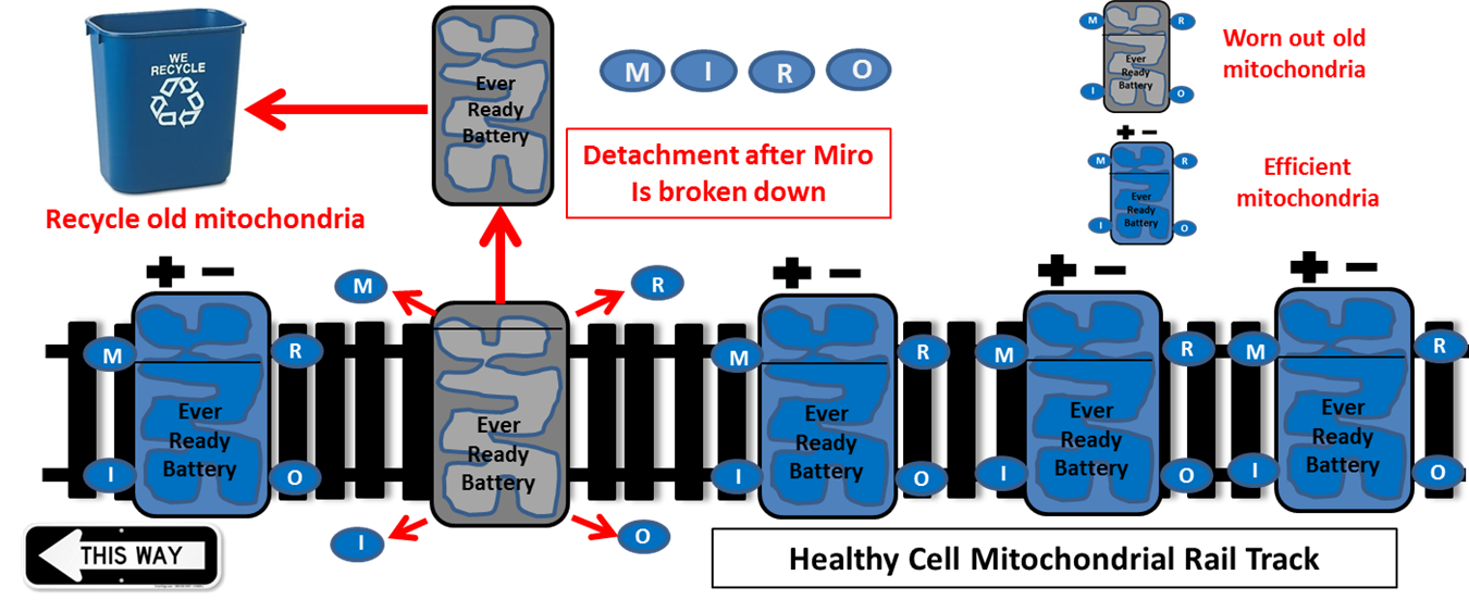 Impaired Recycling Of Mitochondria In >> Making Sense Of Mitochondria Parkinson S Uk Medium