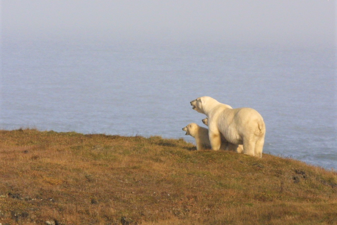 A mother polar bear stands at the edge of the sea with two cubs tucked under her chest.