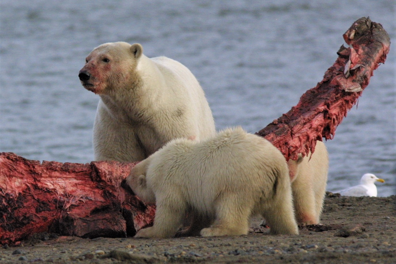 An adult polar bear and two cubs eat at a giant bone with red meat hanging from it at the edge of the ocean.