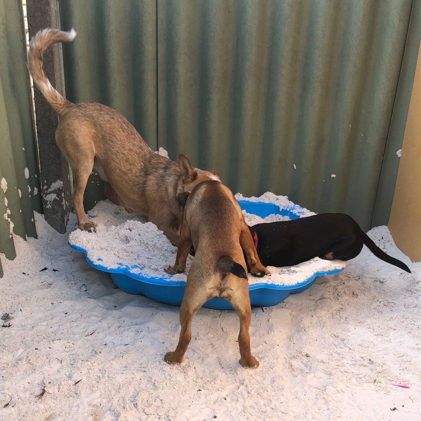 Three dogs digging in the sandpit