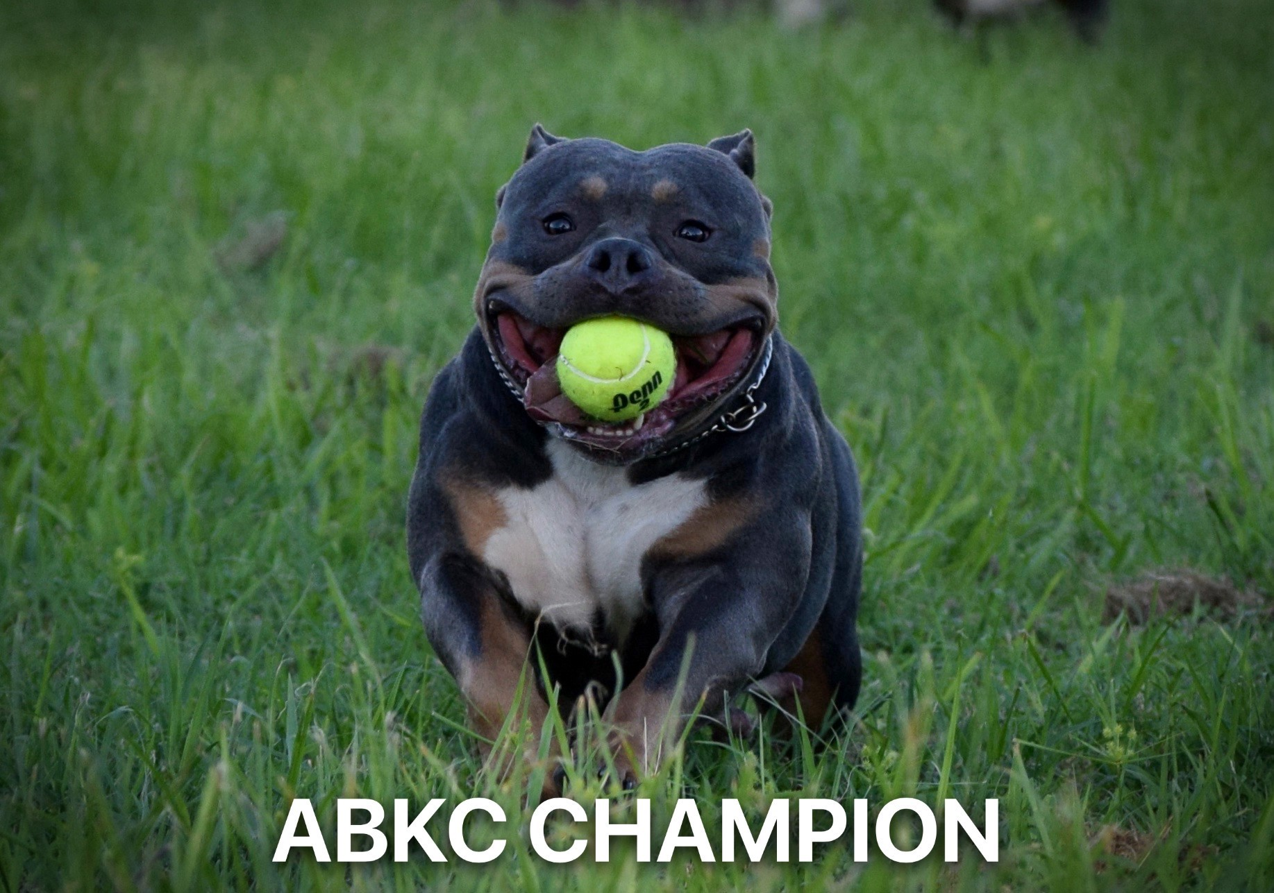 American Bully Females- Top American Bully Breeders | Venomline Pocket Bullies