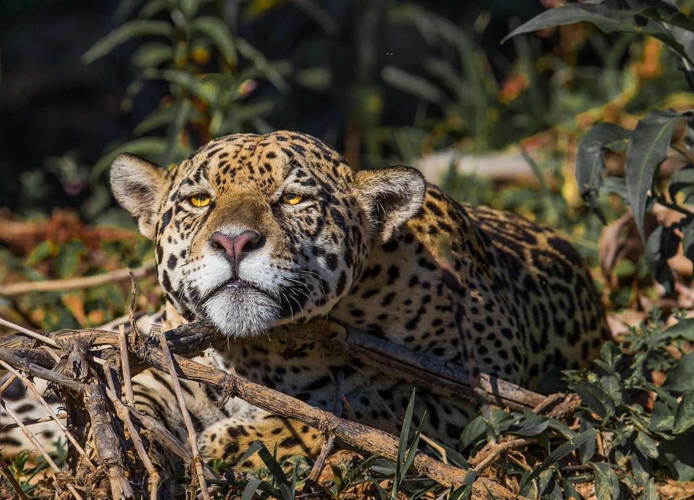 Jaguar resting on bank of river
